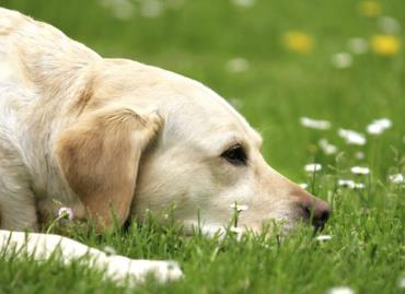 معرفی 10 گیاه دارویی برای تسکین درد در سگ (بخش سوم)