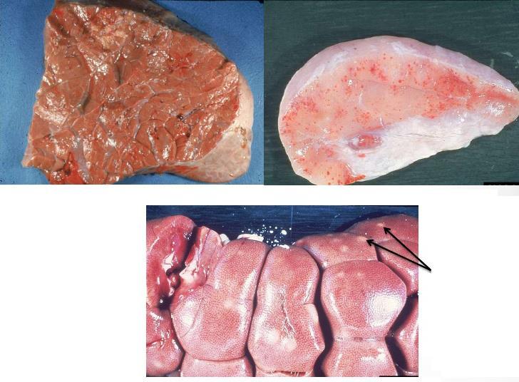 بیماری تیلریوز