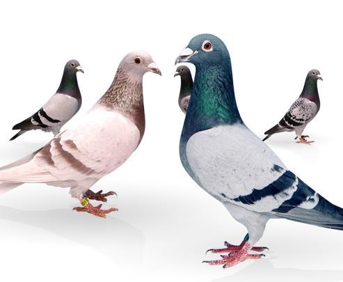 نژادهای کبوتر