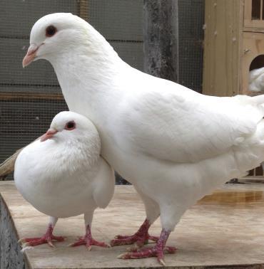 کبوتر شاهی سفید