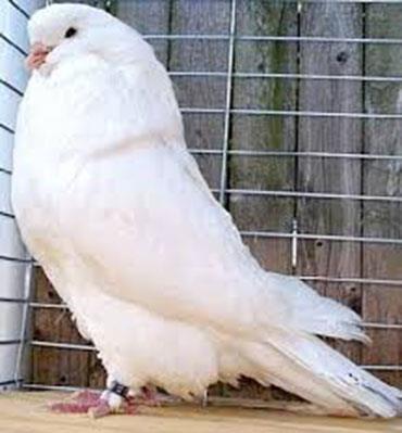 کبوتر رنت