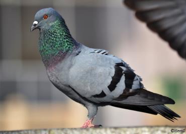 کبوتر مکه