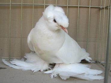 کبوتر بخارا