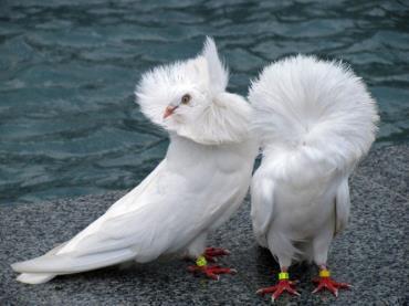 کبوتر یعقوبی