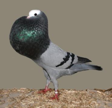 کبوتر دمنده