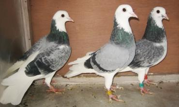 کبوتر تیپلر