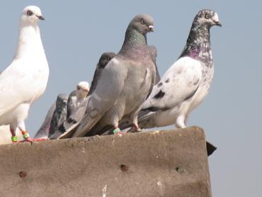 کبوتر میگسار