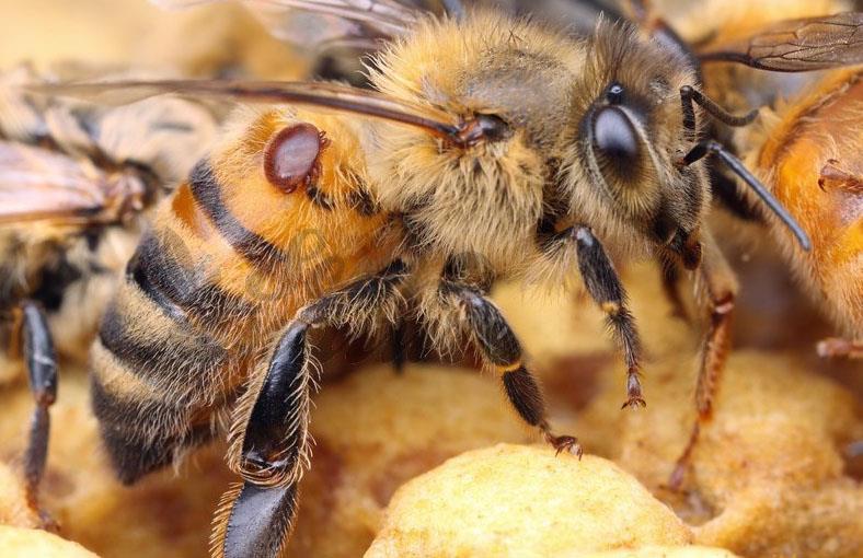 بیماری واروآزیس در زنبورعسل