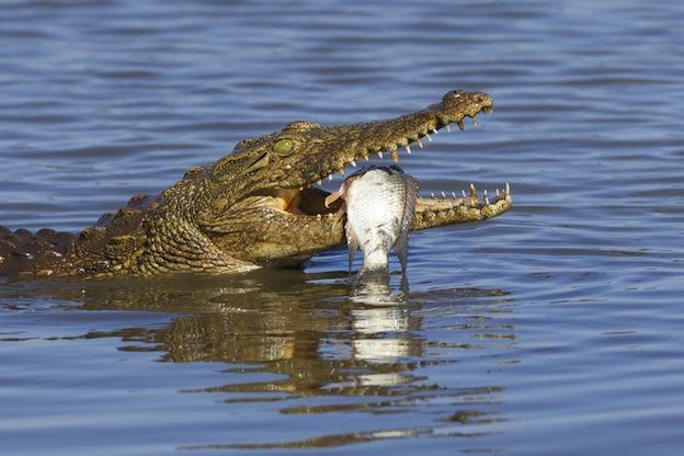 غذای تمساح و کروکودیل