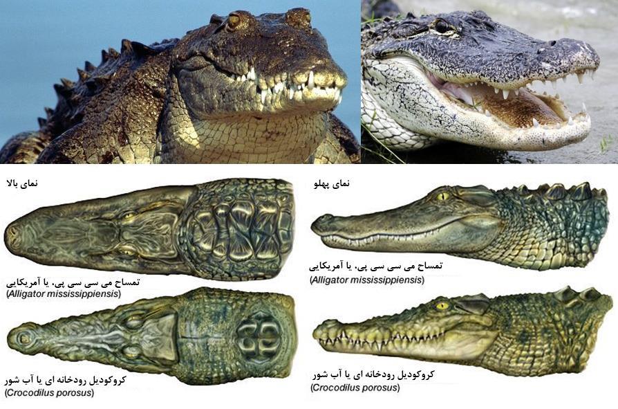 تفاوت کروکودیل و تمساح