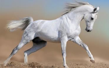 اسب اصیل