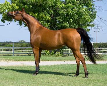 اسب عرب ایرانی