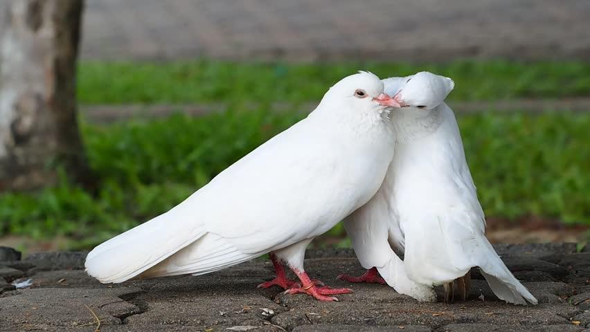آشنایی با نحوه جفتگیری و تخمگذاری کبوتر