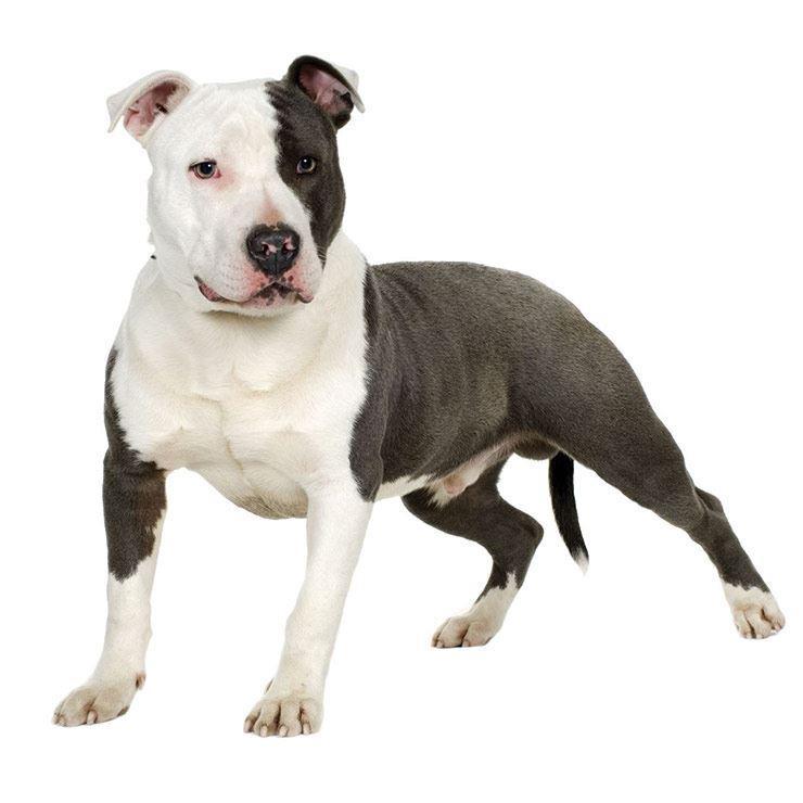 سگ آمریکن پیت بول تریر