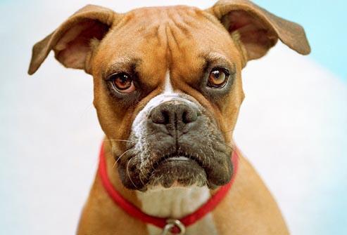 رایجترین بیماری در سگ باکسر