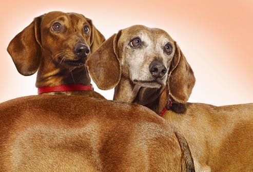 رایجترین بیماری در سگ داشهوند