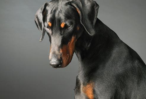 رایجترین بیماری در سگ دوبرمن