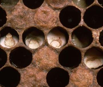 بیماری نوزاد گچی در زنبورعسل
