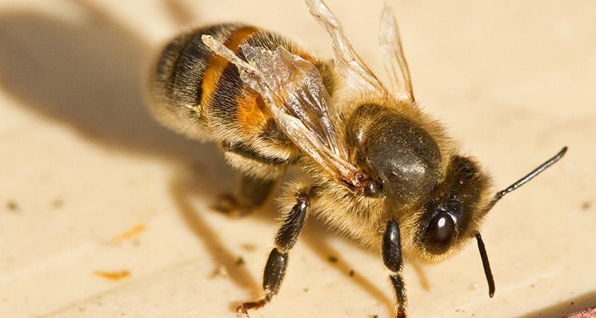 سپتی سمی در زنبورعسل
