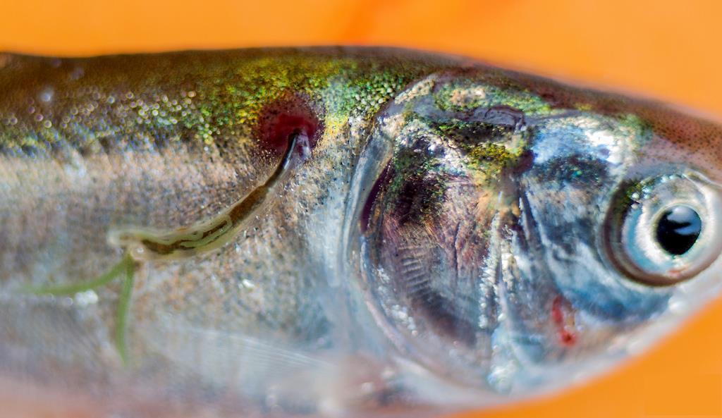 انگل لرنه آ در ماهی