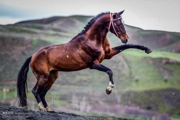 خصوصیات اسب ترکمن