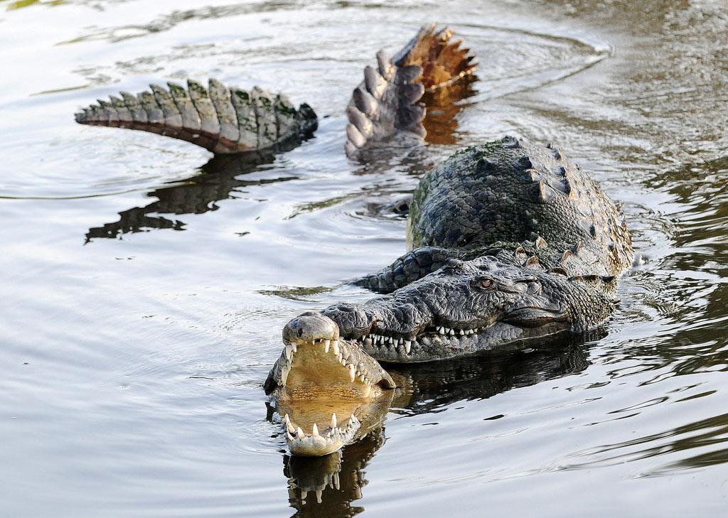 جفتگیری و تولیدمثل کروکودیل و تمساح