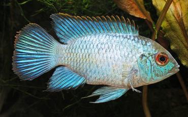 ماهی سیکلید آکارای آبی