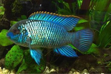 ماهی آکارای آبی