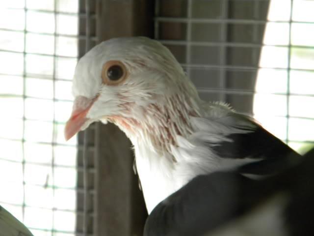 تولک رفتن و پرریزی کبوتر