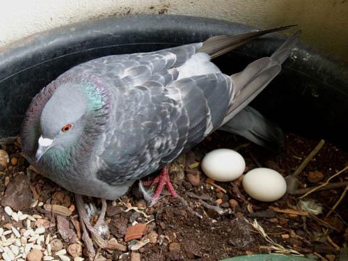 رفتار کرچی و لانه گزینی کبوتر