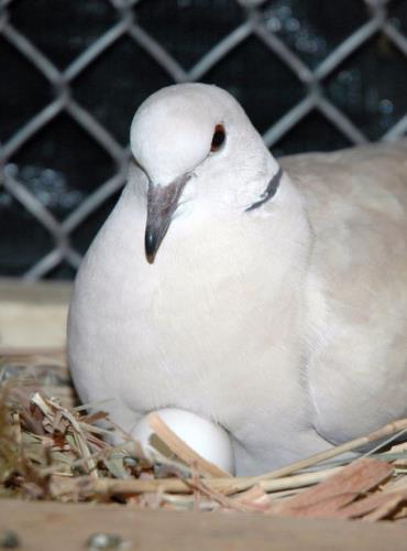 لانه کبوتر