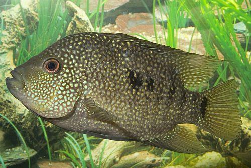 ماهی تگزاس باکس (Dwarf Texas Cichlid)