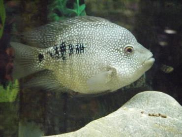 ماهی تگزاس باکس