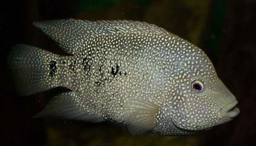 ماهی سیکلید تگزاس باکس