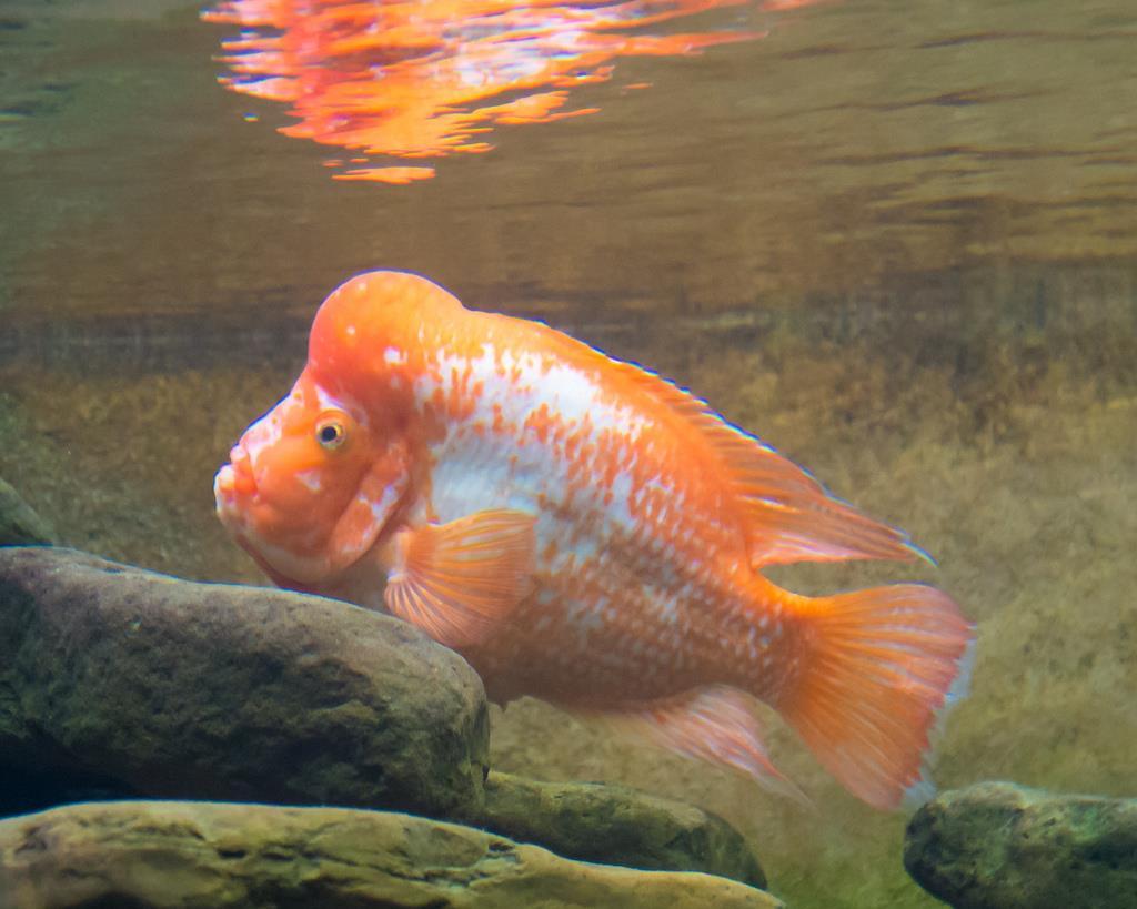 ماهی میداس (Amphilophus citrinellus)