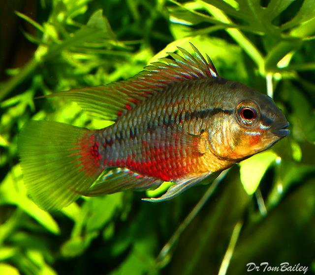 ماهی سیکلید دارف (Dwarf Cichlid)
