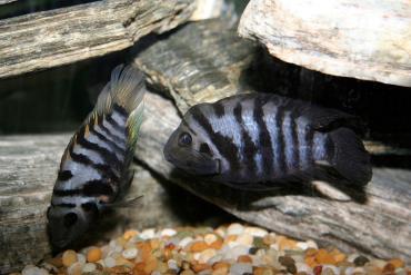 ماهی گورخری