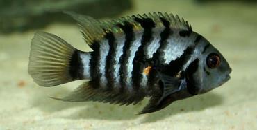ماهی سیکلید گورخری