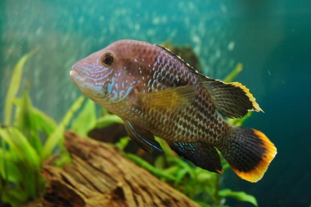 ماهی گرین ترور