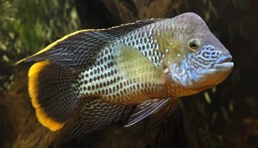 ماهی سیکلید گرین ترور