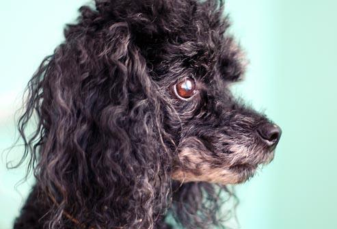 بیماری سگ پودل