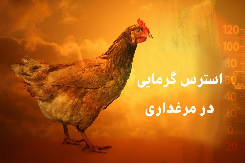 تغذیه مرغهای گوشتی در استرس گرمایی