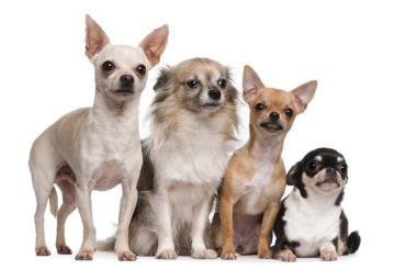 انواع سگ شی هواهوا