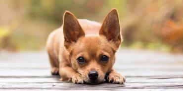 سگ کوچک چی واوا