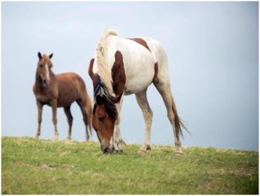 تب باتلاق در اسبهای مانیتوبا