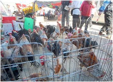 لغو ممنوعیت فروش مرغ زنده در کره
