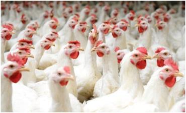 پایان منع واردات مرغ از کشورهای اروپایی به عمان