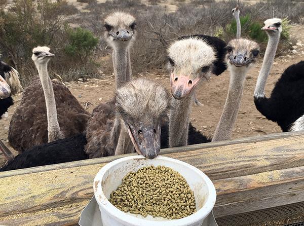 تغذیه شترمرغ (بخش سوم)