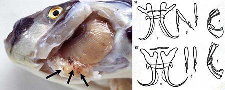 انگل Dactylogyrus lamellatus