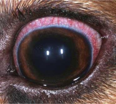 بیماری کونژکتیویت در سگ